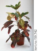 Купить «Кодиеум пёстрый», фото № 59742, снято 23 июня 2005 г. (c) Harry / Фотобанк Лори
