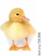 Купить «Симпатичный маленький желтый гусь на белом фоне», фото № 59906, снято 23 мая 2007 г. (c) Останина Екатерина / Фотобанк Лори