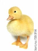 Купить «Симпатичный маленький желтый утенок на белом фоне», фото № 59914, снято 23 мая 2007 г. (c) Останина Екатерина / Фотобанк Лори