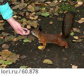 Купить «Белка, принюхивающаяся к еде», фото № 60878, снято 1 октября 2006 г. (c) Snowcat / Фотобанк Лори