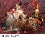 Купить «Йоркширский терьер грызет игрушечный зонтик», фото № 60974, снято 24 октября 2006 г. (c) Ирина Мойсеева / Фотобанк Лори