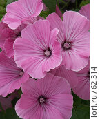 Купить «Розовые цветы», эксклюзивное фото № 62314, снято 13 августа 2005 г. (c) Михаил Карташов / Фотобанк Лори