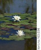 Купить «Две белые лилии-кувшинки среди листьев в пруду», фото № 63034, снято 24 февраля 2019 г. (c) Demyanyuk Kateryna / Фотобанк Лори
