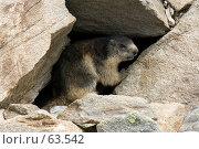 Сурок в камнях. Стоковое фото, фотограф Юлия Кузнецова / Фотобанк Лори