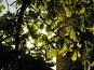 Молодая листва на деревьях, в контровом свете солнца, фото № 64106, снято 11 мая 2004 г. (c) Harry / Фотобанк Лори