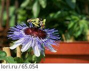Купить «Необычный цветок-щетка - пассифлора, страстоцвет», фото № 65054, снято 29 апреля 2007 г. (c) Demyanyuk Kateryna / Фотобанк Лори