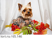 Купить «Йорк в осенней курточке около ветки рябины», фото № 65146, снято 5 октября 2006 г. (c) Ирина Мойсеева / Фотобанк Лори