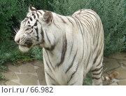 Купить «Белый тигр. оскал.», фото № 66982, снято 28 июля 2007 г. (c) Катя Белякова / Фотобанк Лори