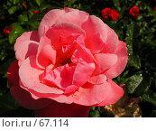 Купить «Роза на цветочной клумбе с каплями воды, после дождя, под лучами яркого солнца», фото № 67114, снято 12 июня 2004 г. (c) Harry / Фотобанк Лори