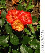 Купить «Розы», фото № 67118, снято 12 июня 2004 г. (c) Harry / Фотобанк Лори
