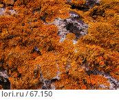 Купить «Желто-оранжевый лишайник на скалистом берегу Черного моря», фото № 67150, снято 30 июля 2004 г. (c) Harry / Фотобанк Лори