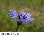 Купить «Голубой василек на фоне окружающей зеленой травы», фото № 67246, снято 11 мая 2005 г. (c) Harry / Фотобанк Лори