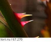Купить «Шипы розы просвечивающие под ярким солнцем», фото № 67270, снято 13 мая 2005 г. (c) Harry / Фотобанк Лори