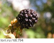 Купить «Ежевика садовая Eubatus», фото № 68794, снято 20 сентября 2018 г. (c) Светлана Кучинская / Фотобанк Лори