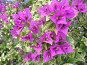 Цветущая бугенвилия с пятнистыми листьями, фото № 69010, снято 6 сентября 2006 г. (c) Елена Руденко / Фотобанк Лори