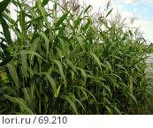 Купить «Кукуруза», фото № 69210, снято 20 сентября 2018 г. (c) Светлана Кучинская / Фотобанк Лори