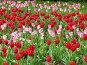 Тюльпаны, фото № 70462, снято 21 мая 2006 г. (c) Корчагина Полина / Фотобанк Лори