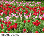 Купить «Тюльпаны», фото № 70462, снято 21 мая 2006 г. (c) Корчагина Полина / Фотобанк Лори