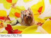 Купить «Йоркширский терьер на ярком желтом фоне  с декоративными цветами и бабочками», фото № 70714, снято 24 октября 2006 г. (c) Ирина Мойсеева / Фотобанк Лори