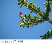 Цветение ели. Стоковое фото, фотограф Юрий Драгунов / Фотобанк Лори
