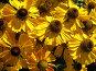 Гелениум цветет, фото № 71822, снято 22 января 2017 г. (c) Светлана Кучинская / Фотобанк Лори
