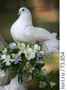 Купить «Свадебный голубь», фото № 73854, снято 18 августа 2007 г. (c) Морозова Татьяна / Фотобанк Лори