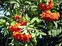 Созревающие гроздья рябины, фото № 74366, снято 19 августа 2007 г. (c) Людмила Жмурина / Фотобанк Лори
