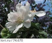 Купить «Цветение яблони», фото № 74670, снято 12 октября 2006 г. (c) Елена Яковенко / Фотобанк Лори