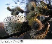 Купить «Сережка ивы», фото № 74678, снято 15 сентября 2005 г. (c) Елена Яковенко / Фотобанк Лори
