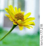 Купить «Желтый цветок», фото № 77218, снято 22 мая 2018 г. (c) Игорь Соколов / Фотобанк Лори