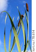 Купить «Рогоз широколистный», фото № 78614, снято 2 сентября 2007 г. (c) Анатолий Теребенин / Фотобанк Лори
