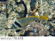 Купить «Чернополосый морской карась», фото № 78618, снято 22 августа 2007 г. (c) Лифанцева Елена / Фотобанк Лори