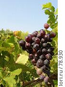 Купить «Виноградник», фото № 78930, снято 11 сентября 2005 г. (c) Alla Andersen / Фотобанк Лори