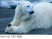 Купить «Белый медведь с буханкой черного хлеба», фото № 81666, снято 1 января 2007 г. (c) Александр Чураков / Фотобанк Лори