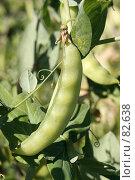 Купить «Стручок зеленого горошка, крупный план», фото № 82638, снято 28 июля 2007 г. (c) Сергей Лешков / Фотобанк Лори