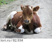Рыже-белый теленок. Стоковое фото, фотограф Ольга Козина / Фотобанк Лори