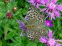 Бабочка Большая лесная перламутровка (разновидность), на фиолетовых цветах, фото № 83922, снято 31 июля 2005 г. (c) Александр Чураков / Фотобанк Лори