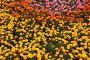 Цветочная россыпь, фото № 89246, снято 26 августа 2007 г. (c) А.Федяшов / Фотобанк Лори