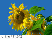 Купить «Один цветок подсолнечника на фоне синего безоблачного неба», фото № 91642, снято 13 августа 2007 г. (c) Ольга Красавина / Фотобанк Лори