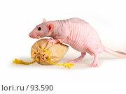 Купить «Лысая крыса с подарочным мешочком», фото № 93590, снято 23 сентября 2007 г. (c) Сергей Лаврентьев / Фотобанк Лори