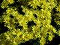 Крым. Никитский ботанический сад. Бал хризантем. Октябрь 2006 года, фото № 93718, снято 24 октября 2016 г. (c) Наталья Ткаченко / Фотобанк Лори
