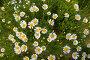 Полевые ромашки, фото № 96134, снято 7 июля 2007 г. (c) Harry / Фотобанк Лори