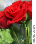 Купить «Три розы с каплями воды», фото № 96290, снято 15 октября 2018 г. (c) only / Фотобанк Лори