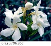 Купить «Белый олеандр», фото № 96866, снято 22 сентября 2007 г. (c) Елена Руденко / Фотобанк Лори
