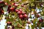 Плоды дикой яблони, крупный план, фото № 98066, снято 29 сентября 2007 г. (c) Моисеева Галина / Фотобанк Лори