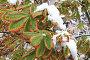 Заснеженные листья каштана.Первый снег., фото № 99002, снято 16 октября 2007 г. (c) Елена Блохина / Фотобанк Лори