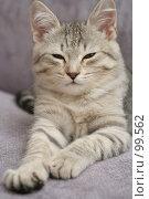 Купить «Взгляд маленького серого котенка», фото № 99562, снято 17 сентября 2007 г. (c) Останина Екатерина / Фотобанк Лори