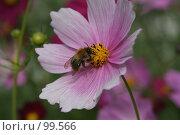 Купить «Шмель, который сидит на розовом цветке летним днем», фото № 99566, снято 10 августа 2007 г. (c) Останина Екатерина / Фотобанк Лори