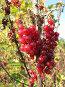 Красная смородина на ветке в осеннем саду, фото № 99722, снято 30 сентября 2007 г. (c) Яременко Екатерина / Фотобанк Лори