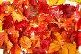 Разноцветный фон из опавших листьев, фото № 100322, снято 27 сентября 2007 г. (c) Владимир Мельник / Фотобанк Лори
